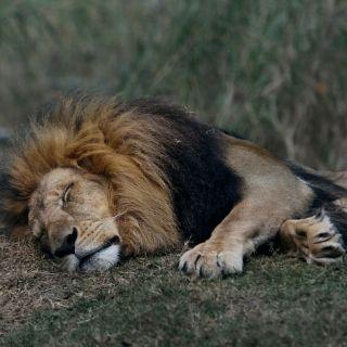 sleeping lion blog on the benefits of sleep